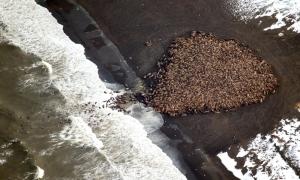 pacific-walrus-stranded-ashore-in-alaska